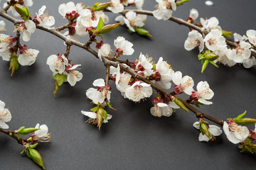 branch of cherry blossoms on a black background. Spring and easter concept. Cherry flowers