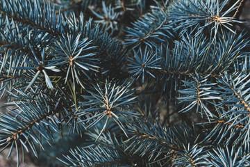 Blue spruce background. Blue srpuce texture.