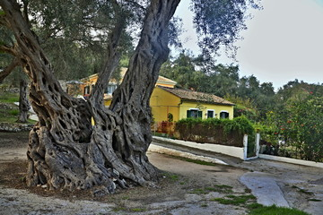 Greece,island Paxos-view of the olive tree