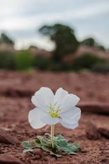 White Flower Grows in Desert