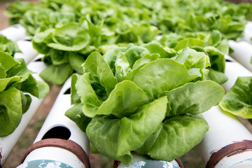 Growing butter-lettuce on a farm. Rows of green salad with irrigation system.