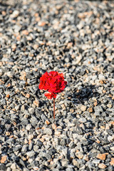 Closeup image of red flower growing up from the gravel. The concept of life and motivation. Struggle for life. Desire to live