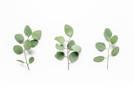 Green leaves eucalyptus populus on white background. Flat lay, top view Green leaf texture. Nature concept.