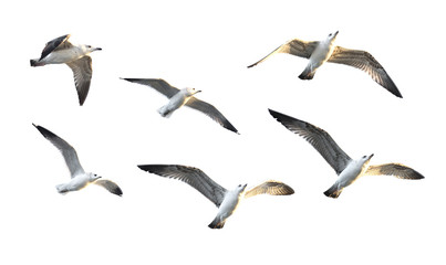flying seagulls (isolated).