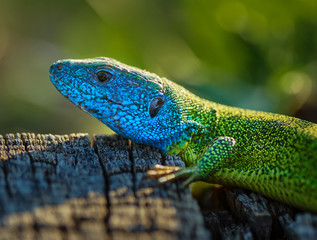 Emerald lizard on a stump