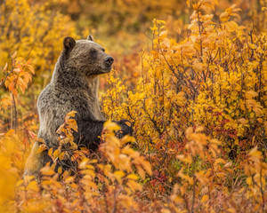 Grizzly Bear Standing-Fall Colors