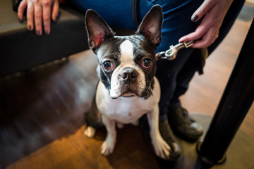 Cute french bulldog in a cafe