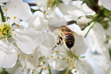 Macro of a bee flying up to a blossom