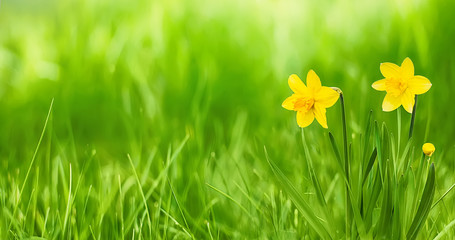 Nature Rustic spring Wallpaper with Yellow flowers daffodils