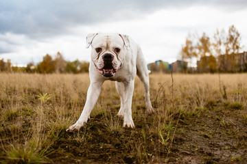 Big white dog on walk