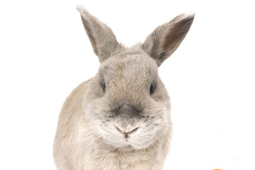 Portrait of a cute rabbit gray with splayed ears isolated on white background