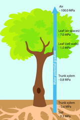 Vector illustration of the water uptake (bulk flow) in trees. Colourful plant biology picture.