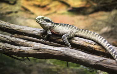 An Australian water dragon (Intellagama lesueurii) resting on a branch at the National Aquarium in Napier, New Zealand.