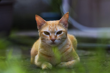 Red cat on green grass in country house yard. Ginger cat resting. Funny orange cat with arrogant face expression.