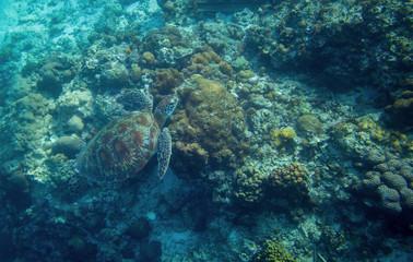 Sea turtle in water. Marine tortoise in wild nature. Green turtle in coral reef underwater photo.