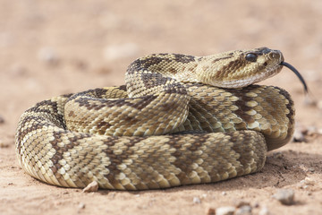 Crotalus molossus is a venomous pit viper species found in the southwestern United States and Mexico. Macro portrait. Common names: black-tailed rattlesnake, green rattler, Northern black-tailed