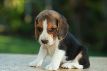 Hurt him eye Beagle puppy in natural green background