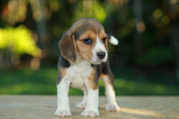 1 month beagle puppy action in natural green background