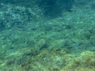 Fish colony ecosystem in Hvar Croatia