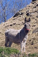 Garden Poster Ass Hausesel im Tessin / Schweiz (Equus asinus asinus) - donkey / ass