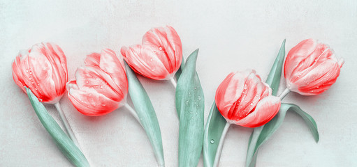 Lovely red tulips at light background, top view. Layout for springtime holidays greeting