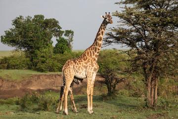 giraffe standing in the grasslands of the Maasai Mara, Kenya
