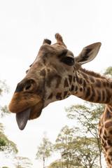 closeup of a Rothschild giraffe