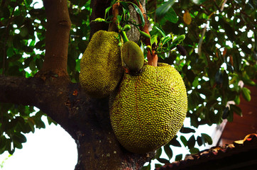 jackfruit on the jackfruit plant