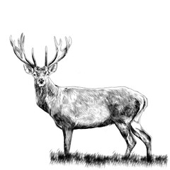 deer standing in the grass, sketch vector graphics monochrome drawing