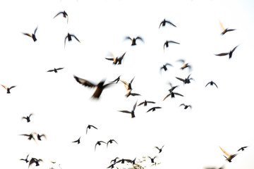 motion blur flying flock of pigeons on white background