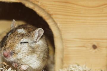 eine müde Maus - Rennmaus schläft