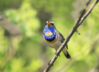beautiful male Bluethroat bird sitting on a branch and sings a song in may the garden on a Sunny day