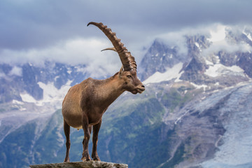 Ibex, Range of Mont Blanc, France Wall mural