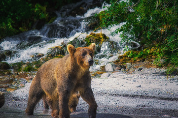 Kamchatka brown bear catches fish on the Kuril Lake. Kamchatka Peninsula, Russia.