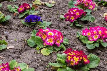primula flwers on ground in flowerbed