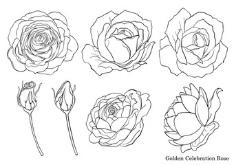 Rose vector set by hand drawing.Beautiful flower on white background.Rose art highly detailed in line art style.Golden celebration rose for wallpaper