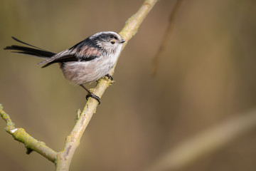 Fotoväggar - Long Tailed Tit