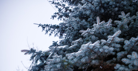 Picture of branches of spruce in winter forest