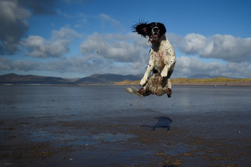 A dog jumps into the air to catch a ball along the beach near the County Kerry village of Rossbeigh