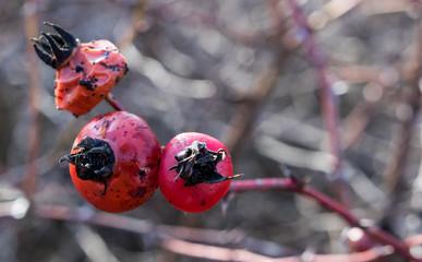 Winter berries frost wilt