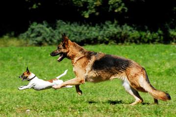 Zwei Hunde rennen in einer Wiese
