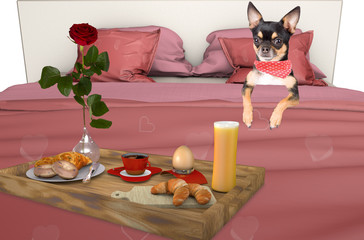 Cute chihuahua get a breakfast for her valentine day