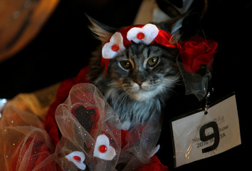 A Maine Coon cat dressed in a fancy dress costume is carried by its owner during the 73rd International Cat Shows organised by the Malta Feline Guardians Club at SmartCity Malta outside Kalkara