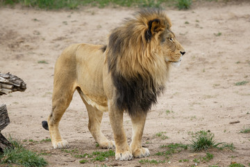 Proud Adult Male Lion - Denver Zoo Animal