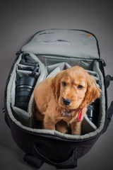 English cocer spaniel dog sleep in photographer backpack with lens