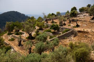 Olivenbaumkultur in Alarò auf Mallorca