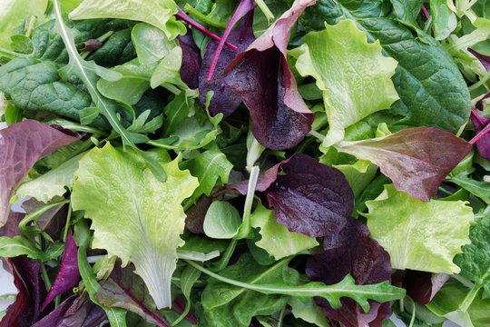 Fresh salad of mixed greens, mesclun, arugula, mache, lettuce, tender leaf vegetable meal