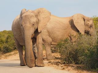 Elefanten im Addo Elephant Nationalpark