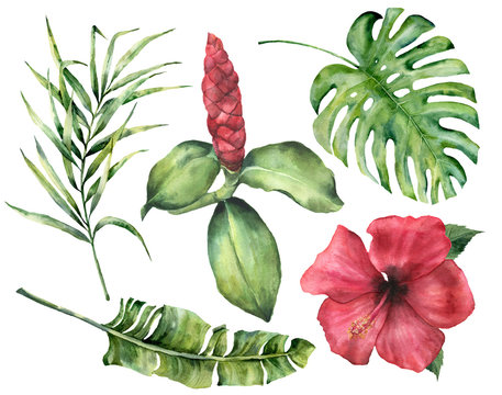 Watercolor tropical flowers and leaves. Hand painted monstera, coconut and banana palm branch, hibiscus, alpinia isolated on white background. Floral exotic illustration for design, print or fabric.