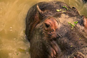 hippo close up